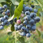 ブルーベリーはどのような気候で栽培されているの?