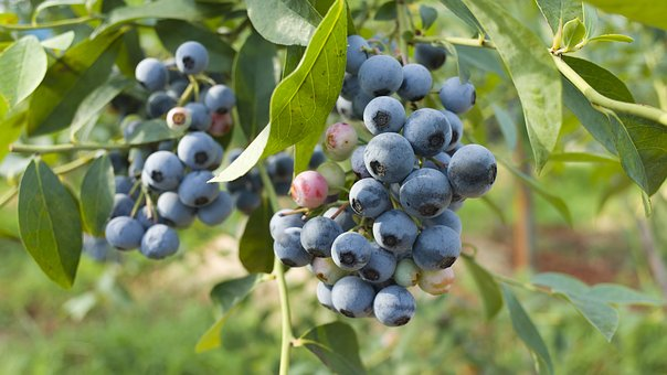 ブルーベリー 栽培 気候