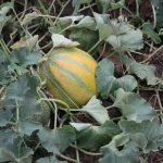メロンの収穫時期の見分け方と積算温度の関係は?
