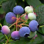 ハイブッシュ系ブルーベリーの種類と受粉