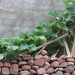 メロン栽培で注意する病気と予防法は?