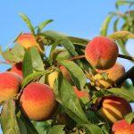 桃の栽培に間引きは必要?その時期や方法は?