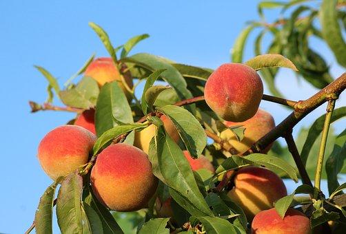 桃 栽培 間引き 必要 時期 方法