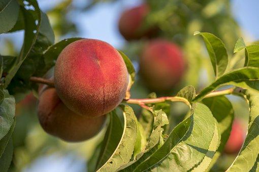 桃 花 木 種類