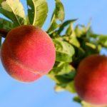 桃の栽培に使う肥料の種類と方法は?