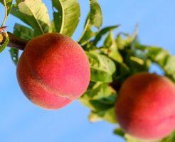桃 栽培 肥料 種類 方法
