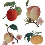 桃を鉢植えで剪定し栽培する!切り戻しの時期や水やりの頻度は?