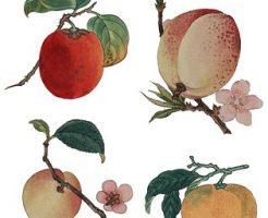 桃 鉢植え 剪定 栽培