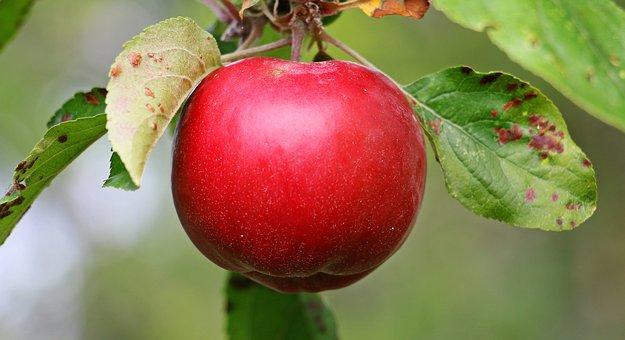 りんご 色素 成分