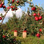 りんごを使った英語のことわざとは?