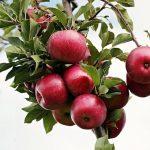 りんごの価格の推移について