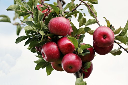 リンゴ うどんこ病 腐らん病 原因 対策