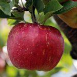 真っ赤なりんご、紅玉の特徴とは?値段や旬の時期は?