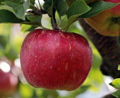 りんご 紅玉 特徴 値段 時期