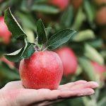 りんごの種類、サンふじとふじの違いとは?それぞれの特徴は?
