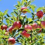 りんごアレルギーとは?その原因と症状