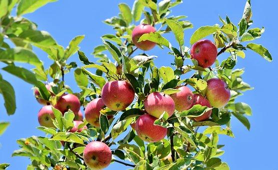 りんご アレルギー 原因 症状