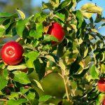 りんごを食べるとおならは臭いのか?