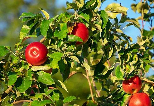 りんご 食べる おなら 臭い
