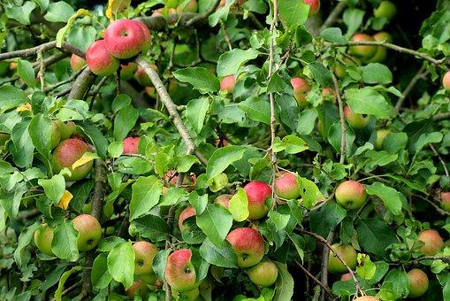 りんご           ボケ       防止