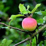 りんごの糖分が血糖値にどう影響するか?