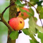 りんご種類日本には、どのような種類があるの?