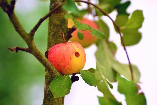 りんご    日本   種類