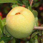りんごにはどういったの農薬の種類が使われているか?洗い方やその理由は?