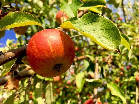 蜜入り リンゴ 蜜 見分け方