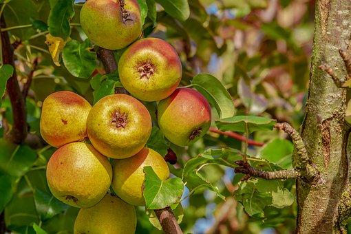 りんご 食べる 薬膳的 効能