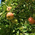 りんごを毎日食べる効果は何か?
