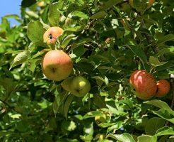 りんご 食べる 効果