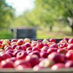 りんごと梨の違いとは?