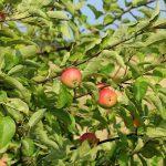 りんごと相性の良い食材とは?