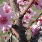 日本の桃の代表的な品種である白鳳の特徴値段収穫時期について