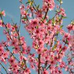 桃の食べ方と、桃の皮の栄養について