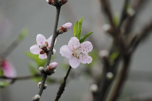 桃 薬膳 効能