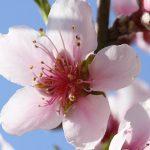 桃の苗作り、接木の時期と台木について