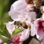 桃に袋かけをする理由は?方法や収穫時期を知りたい!