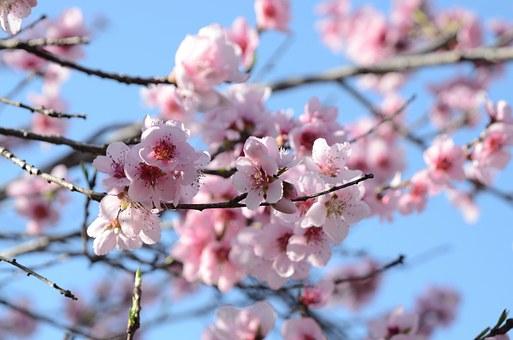桃 開花 時期 咲かない 理由 対策