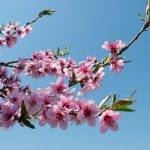 桃の花の花言葉とは?花の咲く時期と木の種類とは?