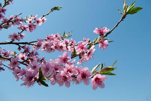 桃 花 種類 時期 花言葉