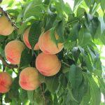 桃の色と新鮮で甘い桃の選び方