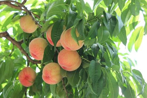 桃 新鮮 甘い 選び方 色