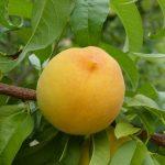 桃の値段と旬の時期はいつなのかについて