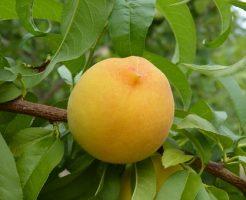 桃 旬 いつ 値段