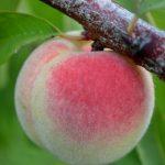 桃の苗の選び方