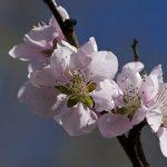 桃が苦いと感じる時や渋いと感じる時の理由について!美味しい桃の食べ方とは?