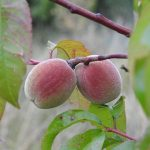 桃の色の種類や特徴について