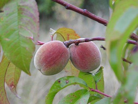 桃 色 種類